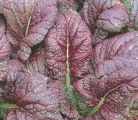 How to Grow Red Mustard in your Home Garden